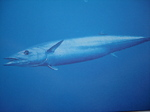 Floating Wahoo