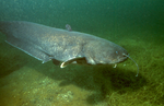 Floating Wels catfish