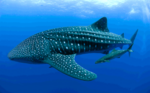 Floating Whale shark