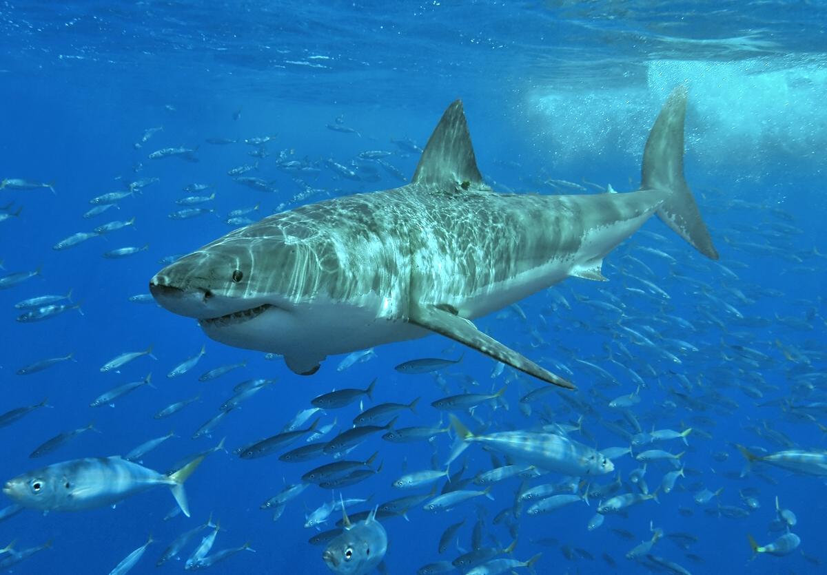 Плавающая Белая акула фото