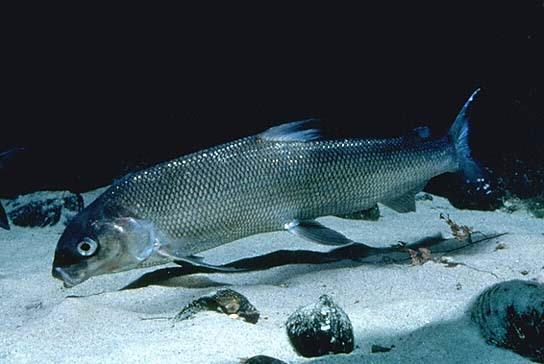 Floating whitefish wallpaper