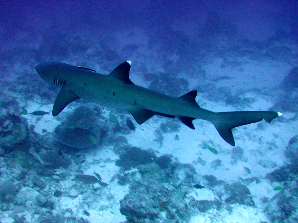 Floating Whitetip reef shark  wallpaper