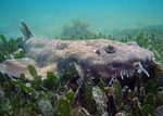 Floating Wobbegong