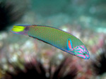 Floating Wrasse