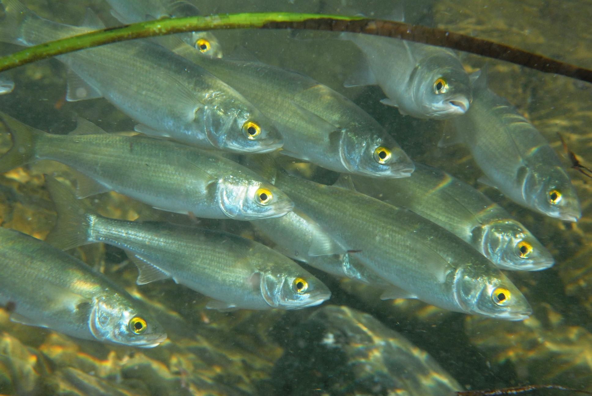 Плавающие Желтоглазые кефали фото
