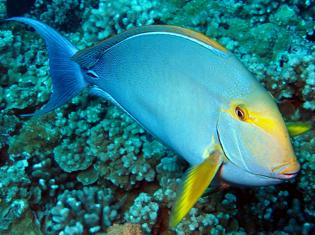 Floating Yellowfin surgeonfish wallpaper