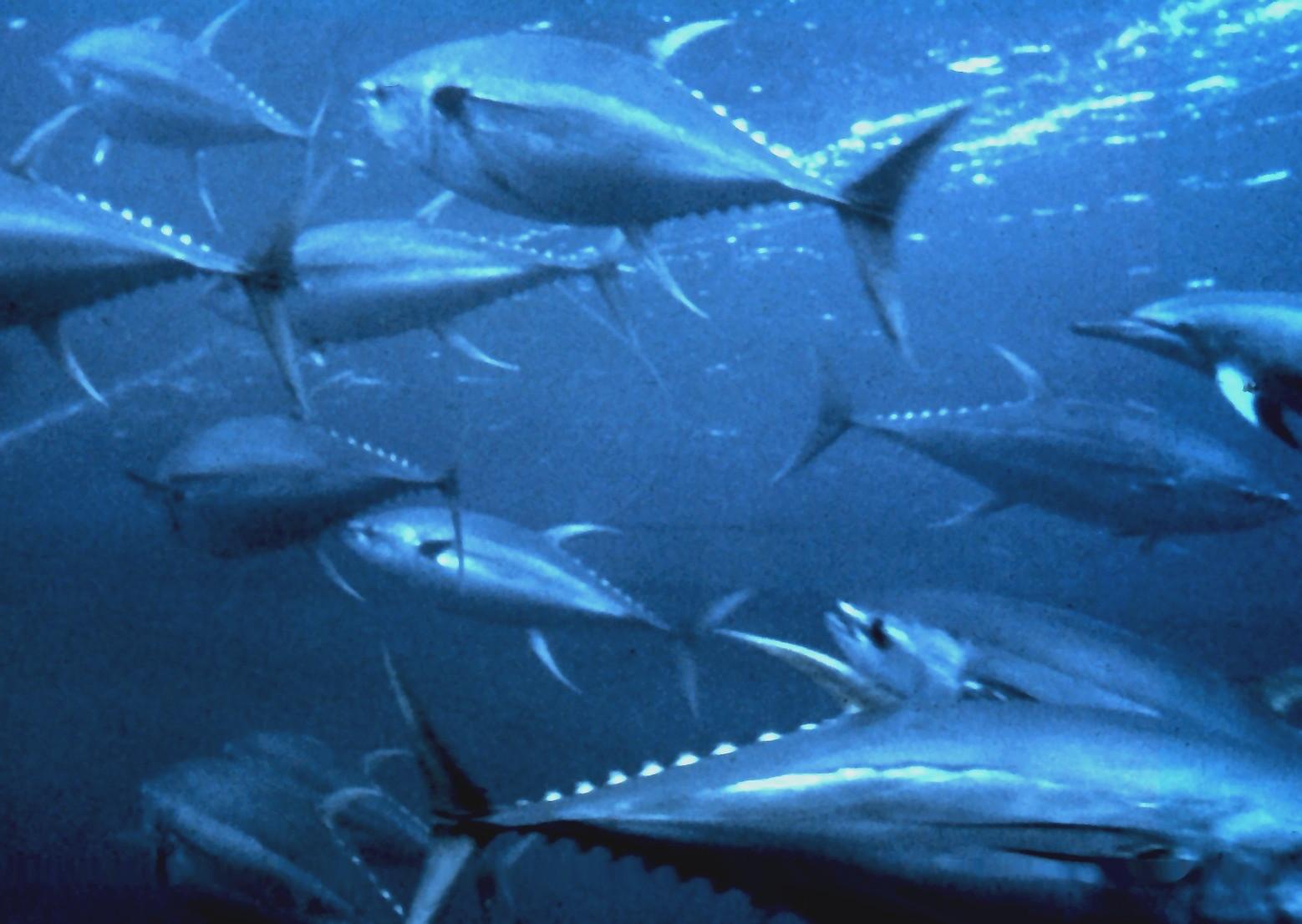 Floating Yellowfin tuna wallpaper