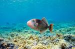 Желтомордая псевдобалиста плавает