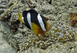 Floating Yellowtail clownfish