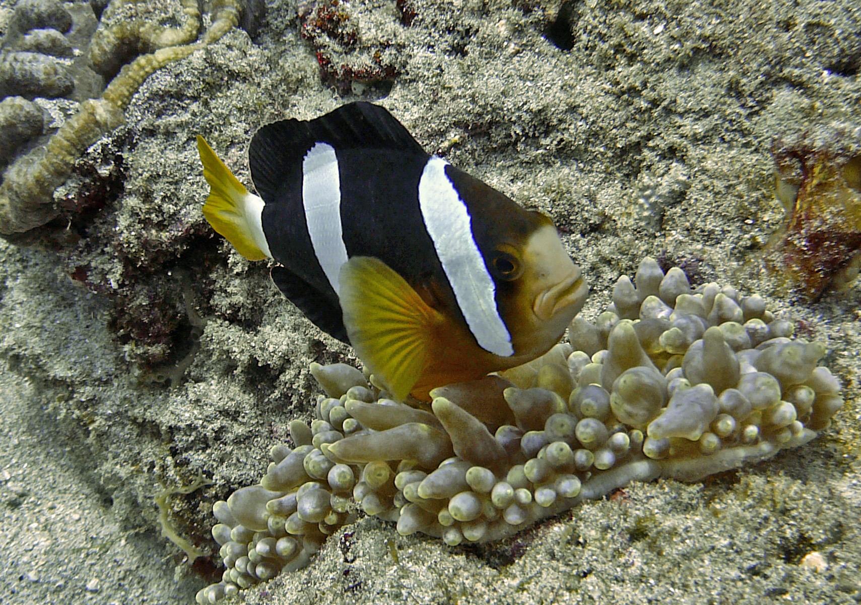 Floating Yellowtail clownfish  wallpaper