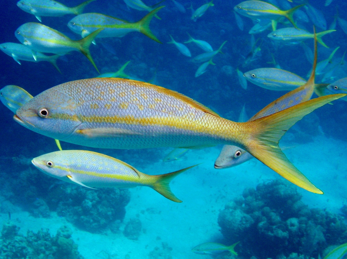 Floating yellowtail snapper photo and wallpaper cute for Yellow tail fish