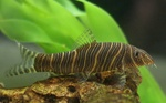 Floating Zebra loach