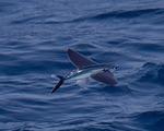Летучая рыба летит над морем
