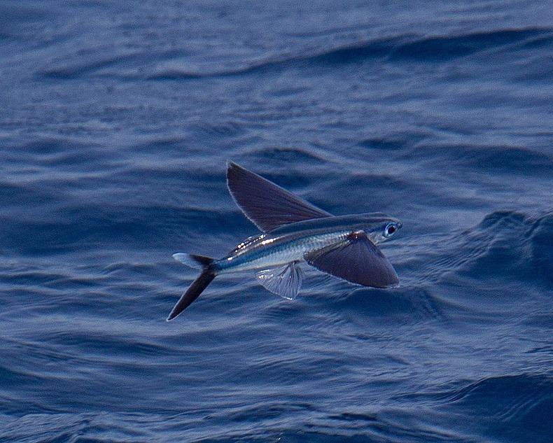 Летучая рыба летит над морем фото