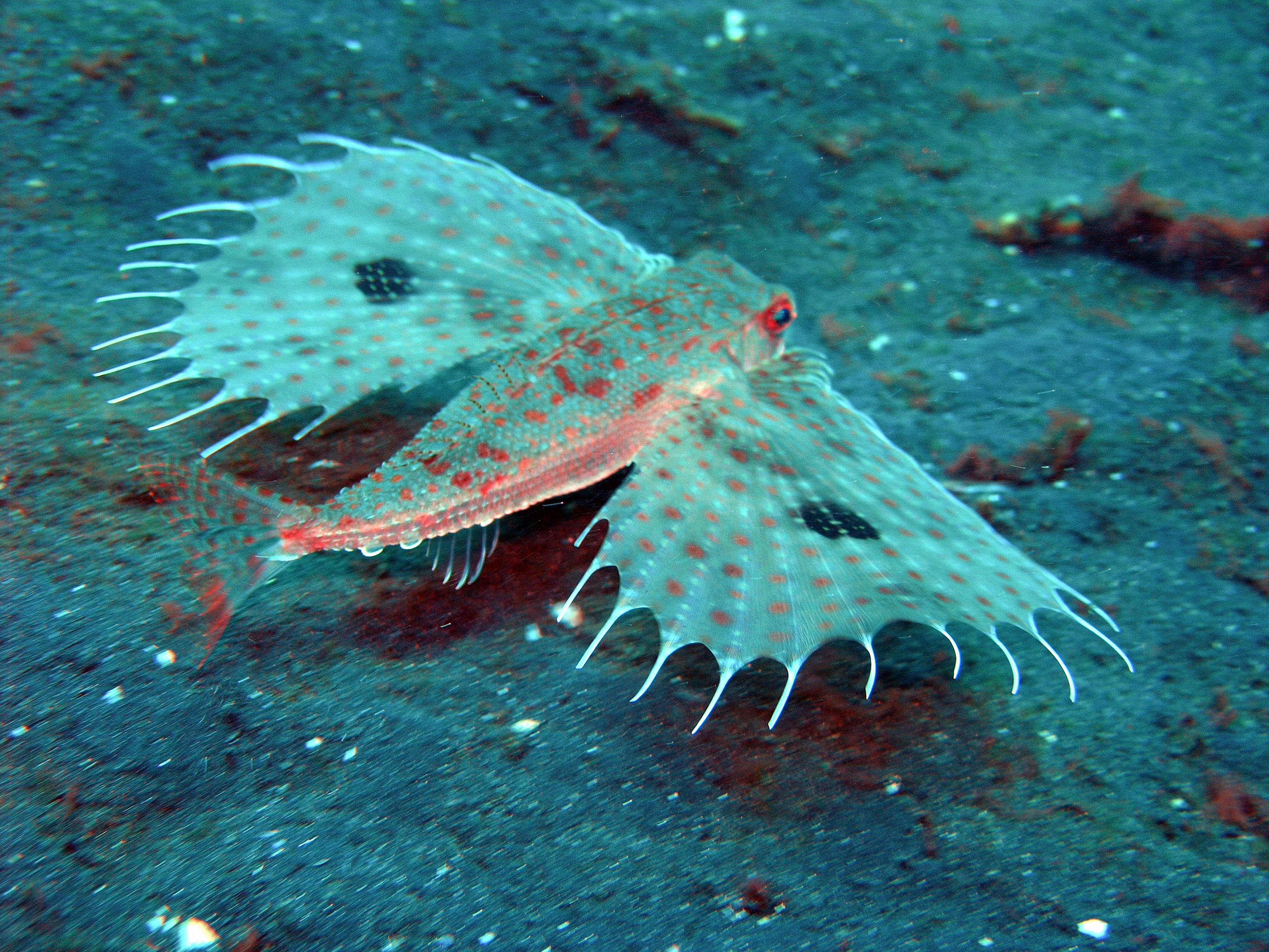 Flying gurnard in the sand wallpaper