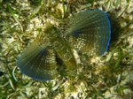 Flying gurnard in grass