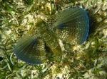 Морской петух в траве
