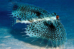 Flying gurnard in sea