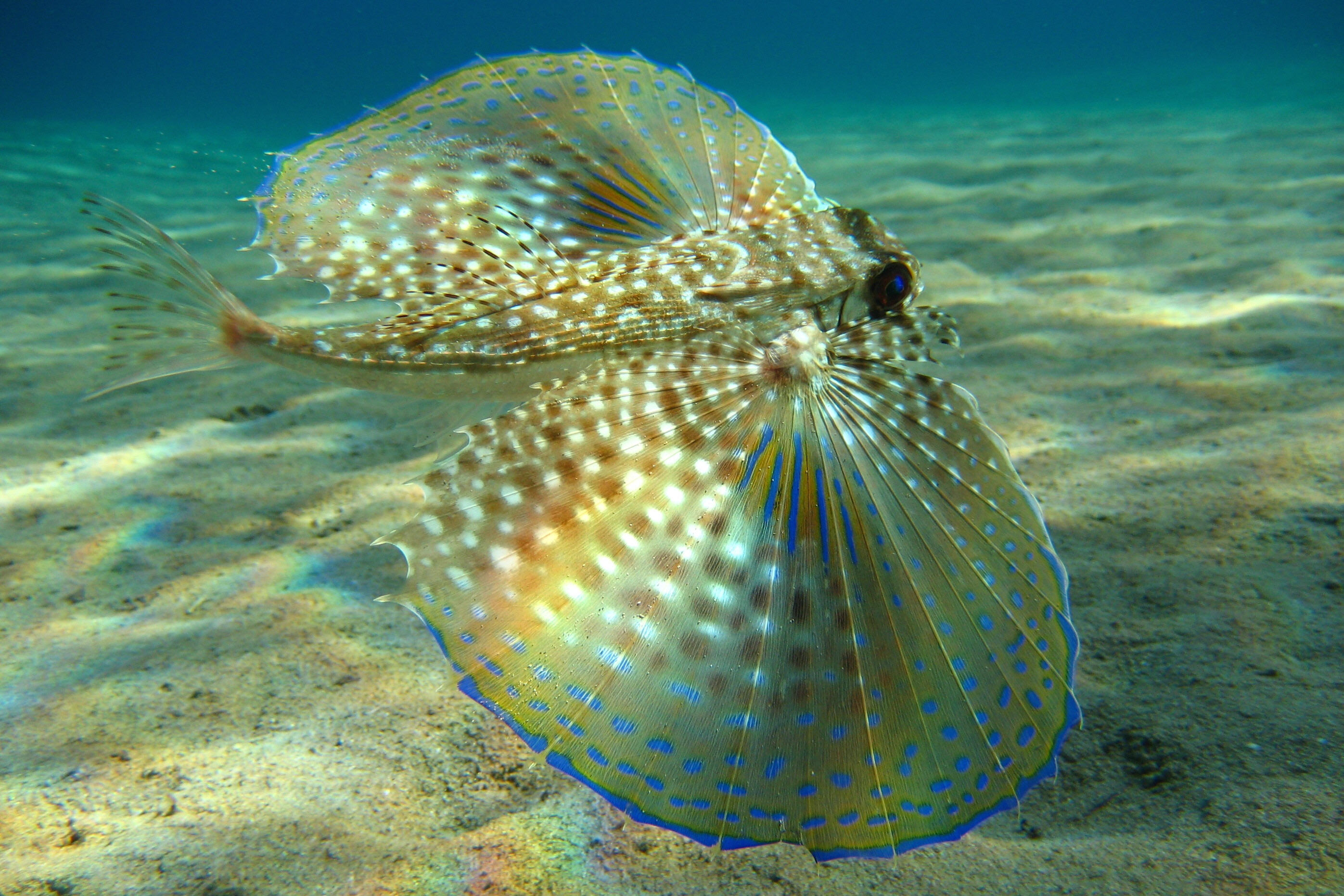 Flying gurnard wallpaper