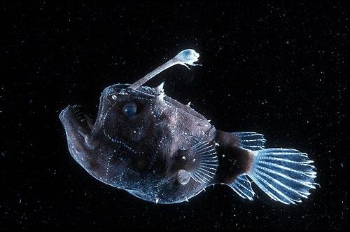 Footballfish wallpaper