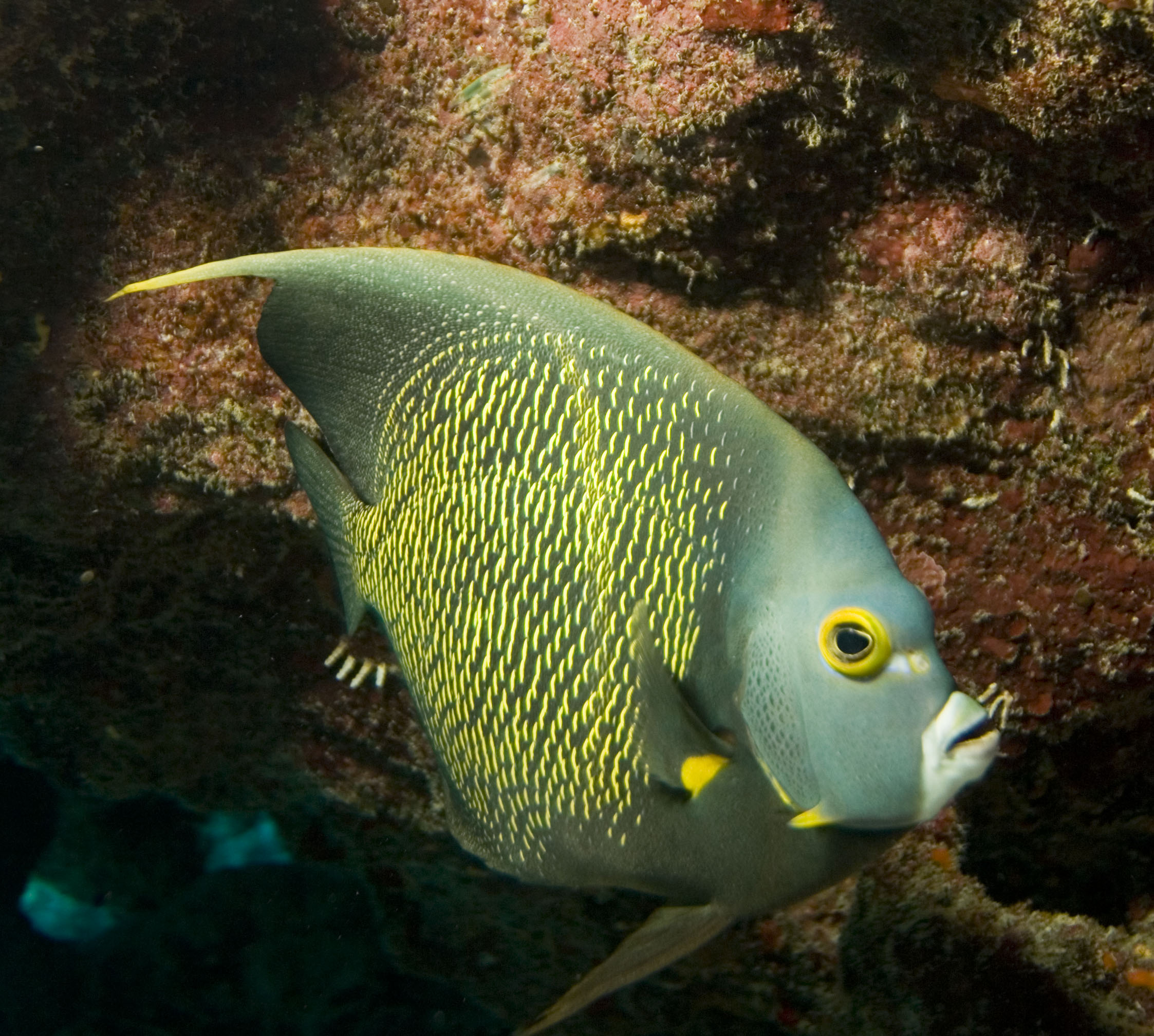 French angelfish wallpaper