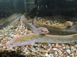Freshwater eels in aquarium