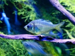Freshwater Glass Fish