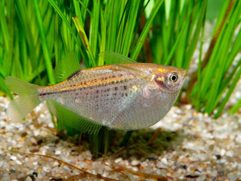 Freshwater hatchetfish in the grass wallpaper