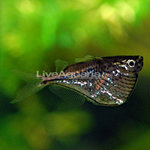 Freshwater hatchetfish
