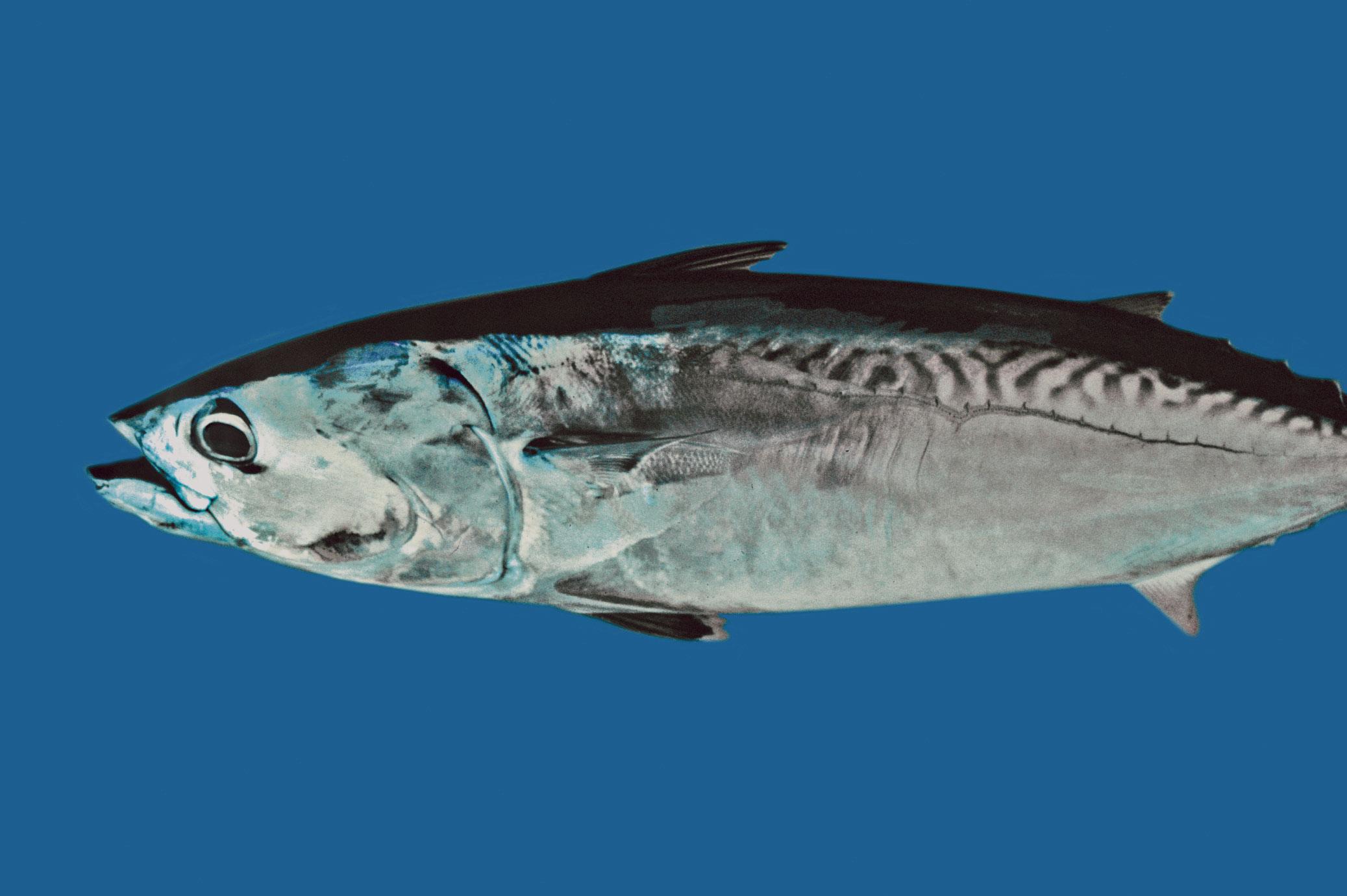 Frigate mackerel wallpaper