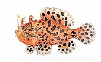 Frogfish wallpaper