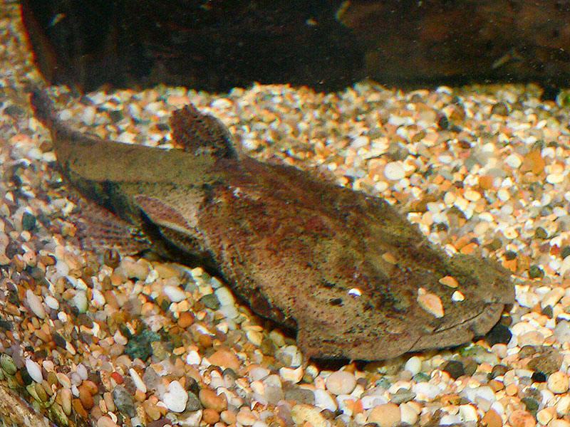 Frogmouth catfish wallpaper