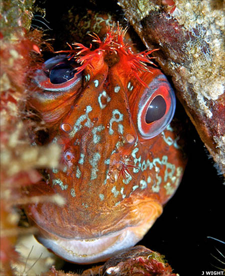 Funny Tompot blenny face  wallpaper