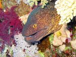 Funny Yellow-edged moray