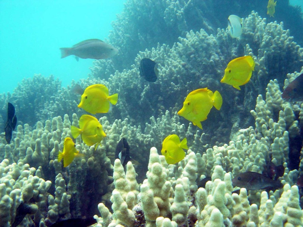 Funny Yellow tang fishes wallpaper