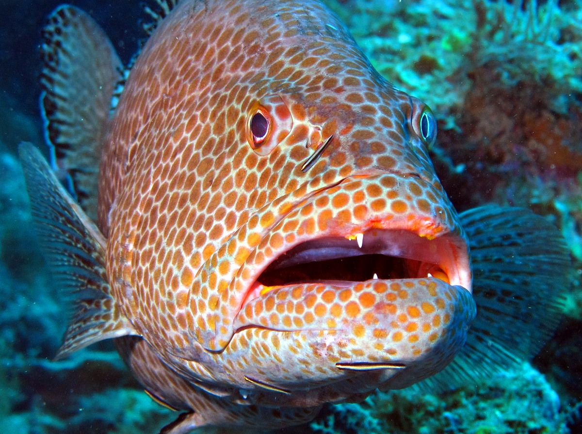 Funny Yellowfin grouper face wallpaper