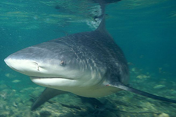 Ganges shark swims photo and wallpaper. Cute Ganges shark ...