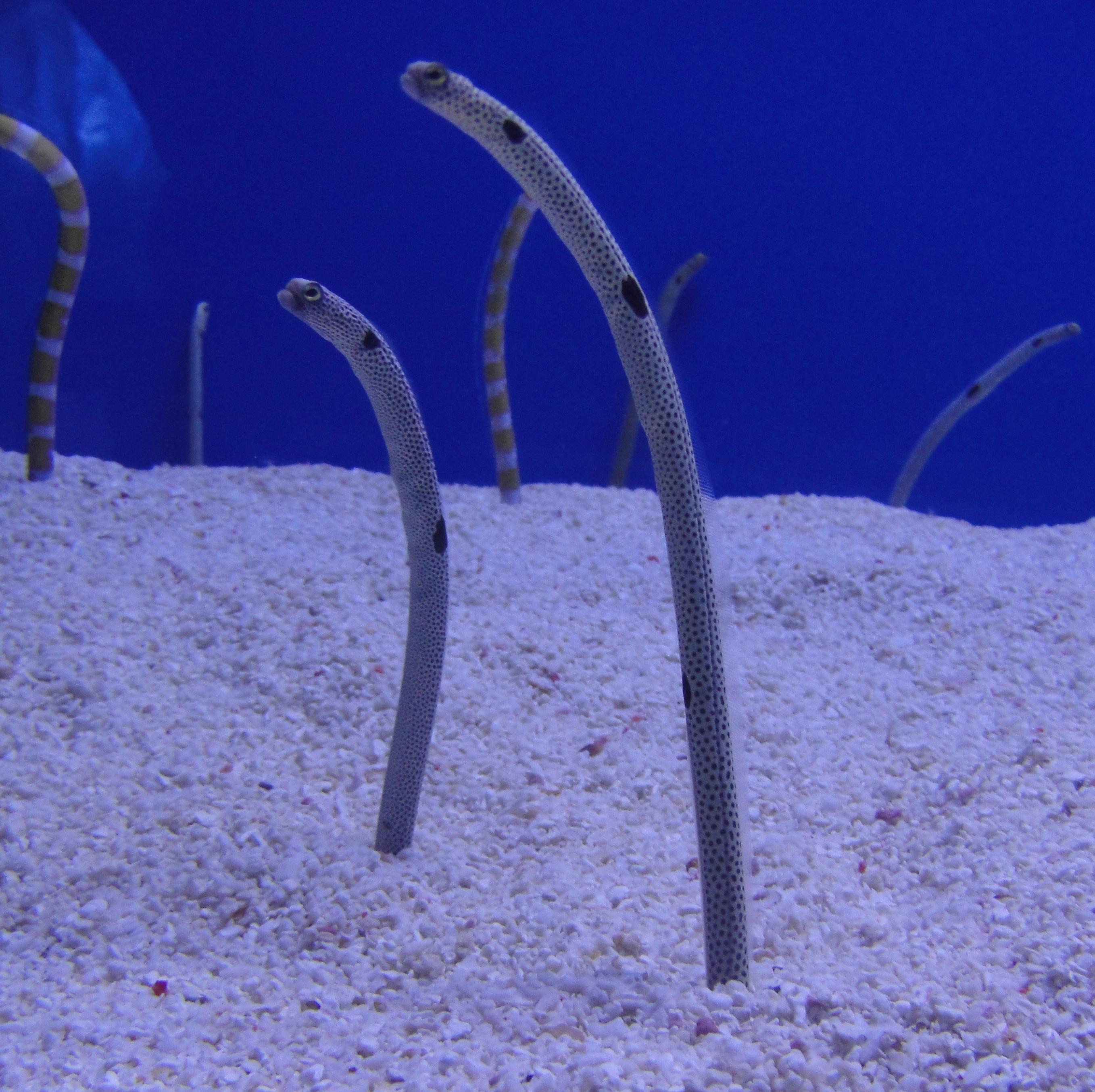 Garden eel wallpaper