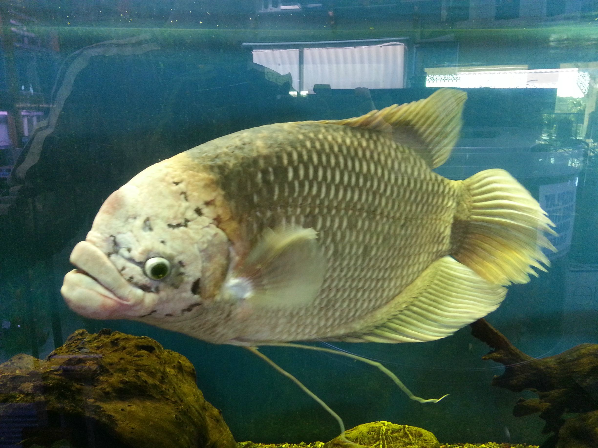 Giant gourami swims wallpaper