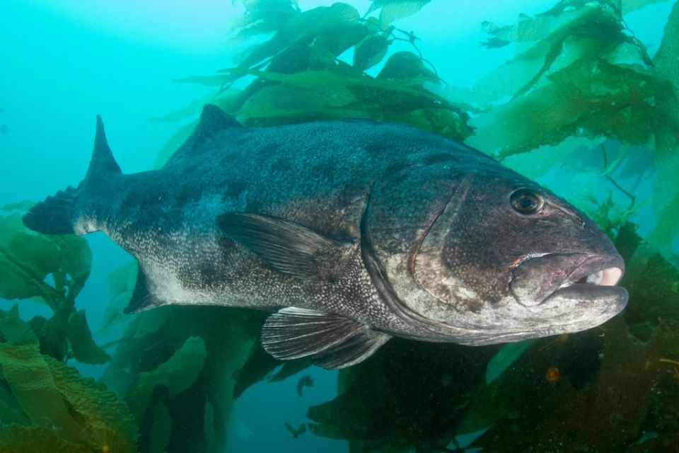 Giant sea bass in grass  wallpaper
