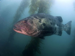 Giant sea bass in sun