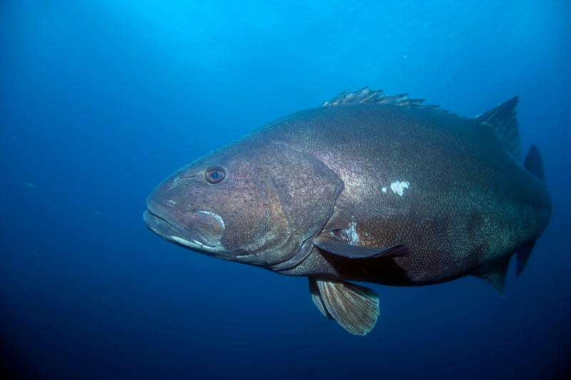 Giant sea bass wallpaper