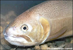 Gila trout wallpaper