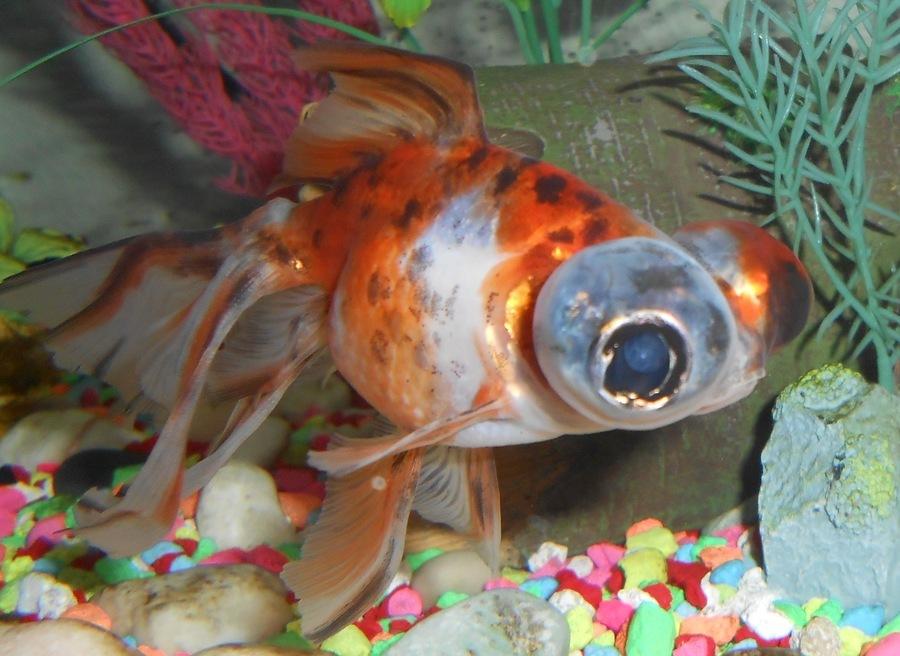 Ginger Telescopefish wallpaper