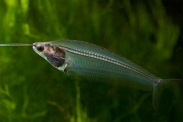 Glass catfish wallpaper