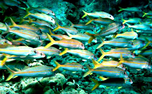 Goatfish wallpaper