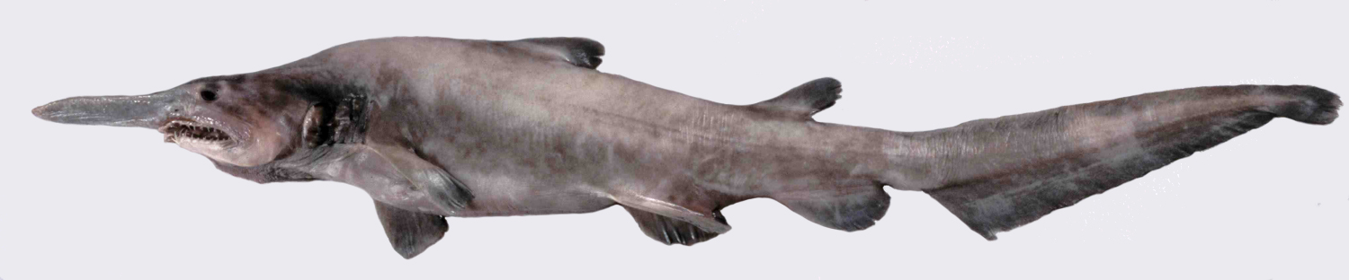 Goblin shark wallpaper