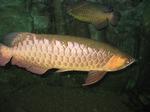 Gold Aruana