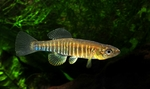 Gold banded killifish