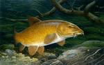 Gold barbel